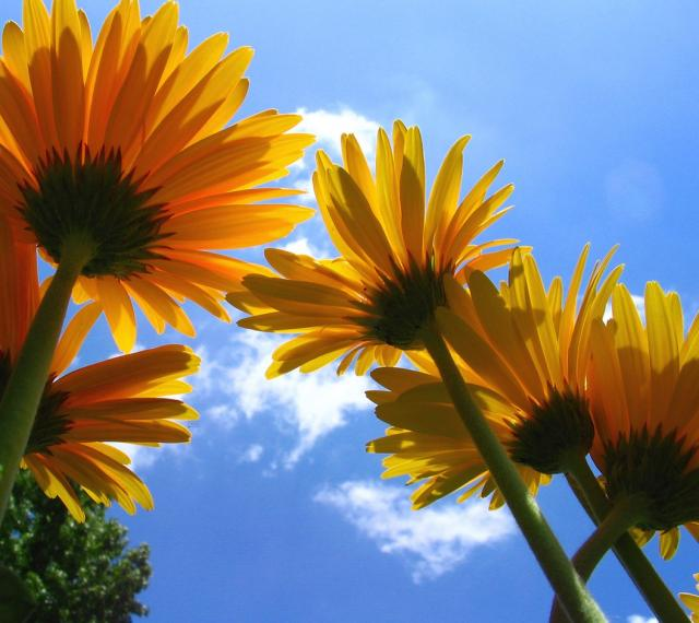 Butterflyflame Where did daisies originate