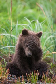 A Brown or Grizzly Bear spring cub, Lake Clark National Park, Alaska.