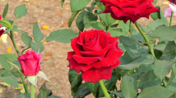 videoblocks-red-rose-blossom-in-flower-field-nature-backgrounds_bgmls0ypz_thumbnail-full01.png