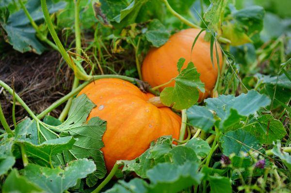 big-orange-pumpkins-royalty-free-image-610878486-1562880194.jpg