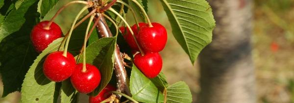 Cherries-on-Old-Mission_ad3b78f2-33e3-4f13-ad0c-11e9d26358db